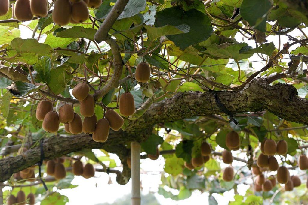Jak rosną popularne owoce: kiwi